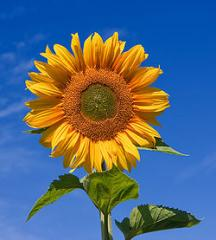 Picture of Sun Flower