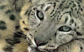 Snpw Leopard